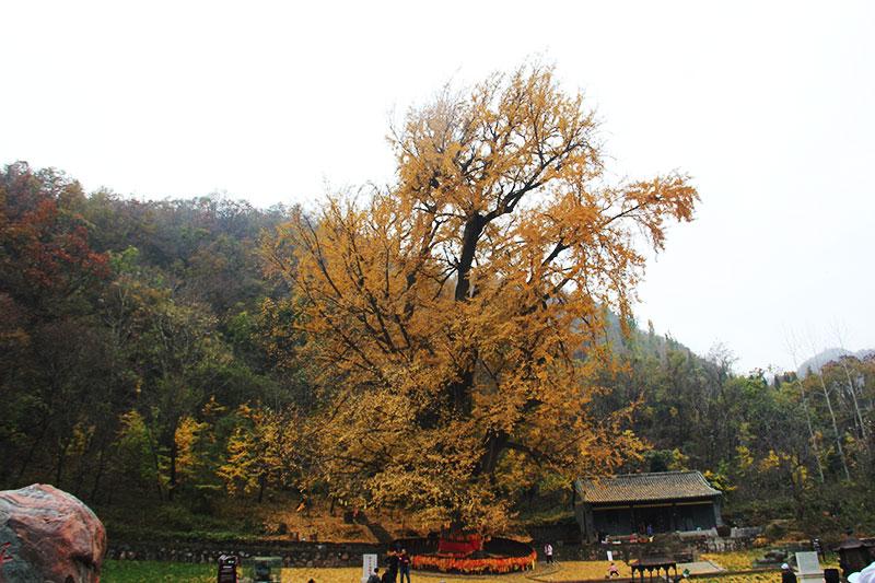 千年银杏古树